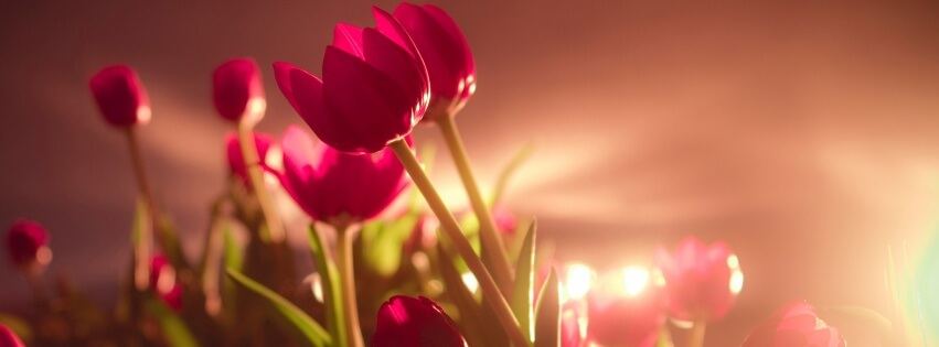 Tulips-Sunshine-851×315