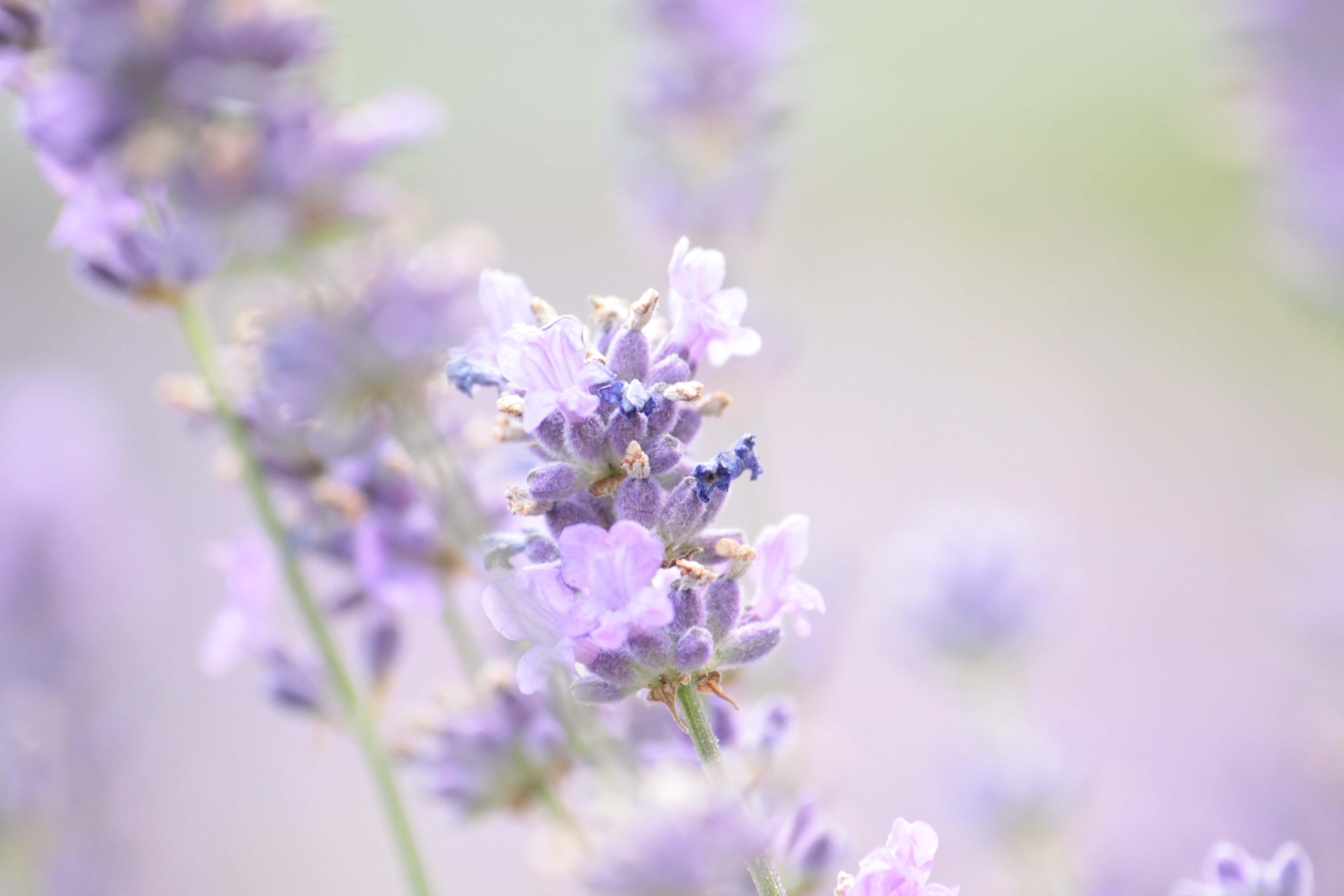 lavender-1889141